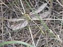 Brimstone Clubtail - Stylurus intricatus - female