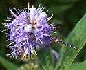 Ocyptamus fascipennis ? - Ocyptamus fascipennis