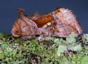 Moth - Enigmogramma basigera - female