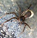 Lycosidae? - Pardosa - female