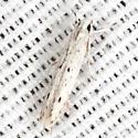 Octagonal Casemaker Moth - Hodges #1398 - Homaledra octagonella