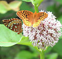 Great Spangled Fritillarys? - Speyeria cybele
