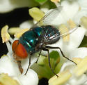 Unknown Fly - Chrysomya megacephala - male
