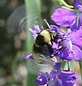Bombus auricomus or pensylvanicus - Bombus auricomus