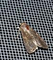 very drab owlet moth - Spodoptera frugiperda