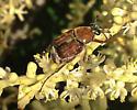 Beetle  - Trichiotinus rufobrunneus