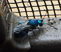turquoise fly