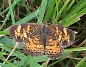 Lepidoptera  - Phyciodes tharos