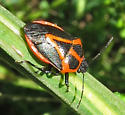 Predatory Stink Bug - Perillus strigipes - Perillus strigipes