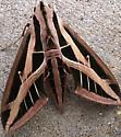 Mystery Moth - Eumorpha fasciatus