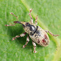 Red Clover Seed Weevil - Tychius stephensi