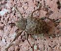 strange beetle on door - Curculio