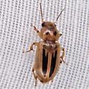Stenolophus lineola - Seedcorn Beetle - Stenolophus lineola
