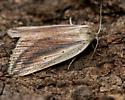 feeble grass moth - Amolita fessa