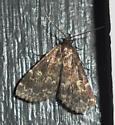 unidentified moth - Idia lubricalis
