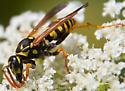 European Paper Wasp? - Polistes dominula