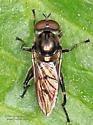 Fly - Chalcosyrphus