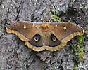 giant silk moth i.d. - Antheraea polyphemus