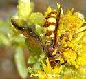 Scoliidae--Trielis octomaculata? - Trielis octomaculata