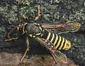 Paranthrene asilipennis - male
