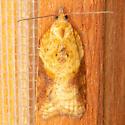 Brittania Moth - Acleris britannia