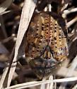 Bumble Flower Beetle on Tall Grass Prairie - Euphoria inda