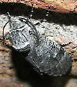 Carpenterworm Moth - Prionoxystus macmurtrei