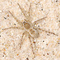 sand spider - Arctosa littoralis