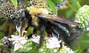 Eastern Carpenter Bee - Xylocopa virginica