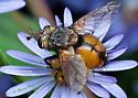 August fly - Peleteria