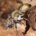 Osmia lignaria? - Osmia bucephala - male