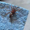 LA Spider