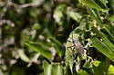 Agave bug - Acanthocephala thomasi