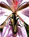 Longhorn beetle sp. - Lepturobosca chrysocoma