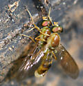 Mating Ptecticus - Ptecticus trivittatus - male - female