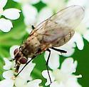 Anthomyiidae - Root-Maggot Flies