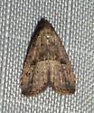 Hypenodes fractilinea – Broken-line Hypenodes Moth - Hypenodes fractilinea