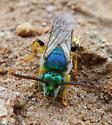 Sweat Bee? - Agapostemon texanus - male