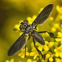 Family Tachinidae-ID please - Trichopoda lanipes