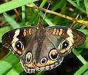 Common Buckeye? - Junonia coenia