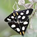 Moth - Anania funebris - male - female