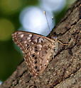 Any idea what kind of butterfly this is? - Asterocampa celtis