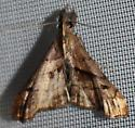 Dark-spotted Palthis - Hodges#8397 - Palthis angulalis - male