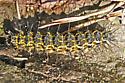 Lichen Moth - Hypoprepia