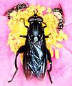 Big, dark violet fly - Chalcosyrphus chalybeus