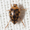 Crawling Water Beetle - Haliplus
