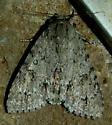 Fingered Dagger Moth  - Acronicta americana