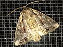 Moth - Lacanobia grandis