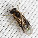Fly - Acordulecera