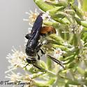 wasp? - Dielis tolteca - female